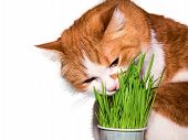 stock photo of catnip  - Red cat eating green grass isolated on white - JPG