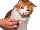 pic of catnip  - Red cat eating green grass isolated on white - JPG