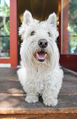 a west highland terrier on a porch smiling