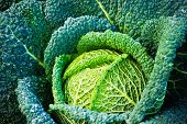 foto of eatables  - Harvested fresh savoy cabbage in the fall - JPG
