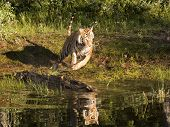 foto of wildcat  - Tiger running along river bank with reflection in water - JPG