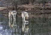 picture of mating animal  - Two pack mates standing on a frozen lake with reflection - JPG