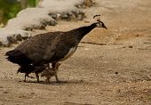 picture of female peacock  - female peacock walking on a path with her three chicks - JPG
