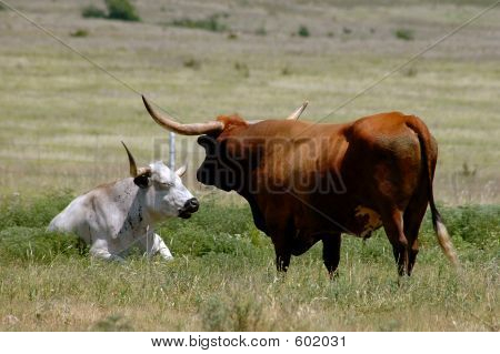 Longhorn Steer Grazing