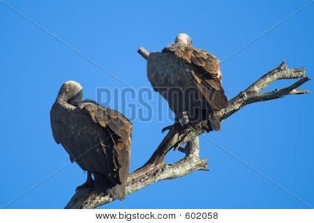 Sleeping Vultures