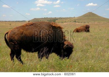 Buffalo Grazing On Prairie