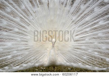 White peacock displaying his beauti
