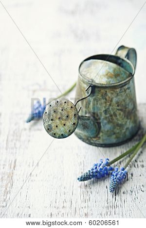 Metal Watering Can and Blue Hyacinths
