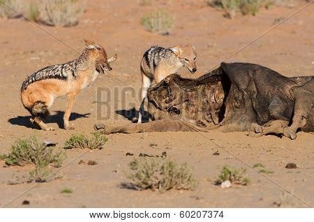 Hungry Two Black Backed Jackal Eating On A Hollow Carcass In The Desert Fighting