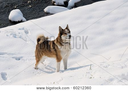 Bitch West Siberian Laika walking in winter