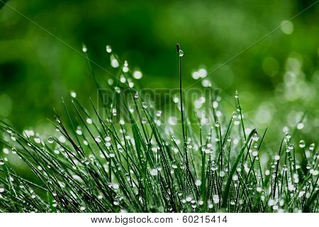 Dewy Green Grass