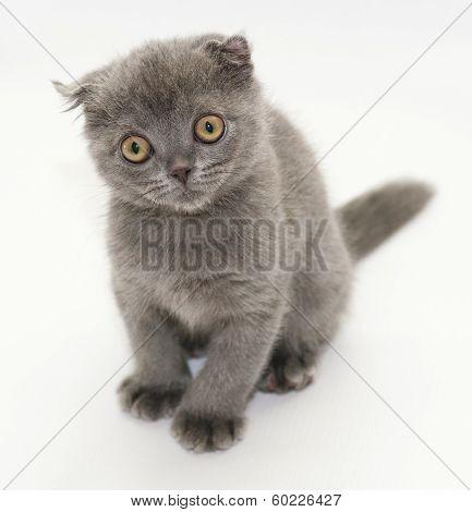 Small Blue Kitten Scottish Fold Sitting Looking Away