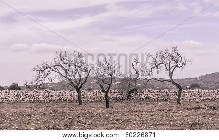 Four Almond Trees