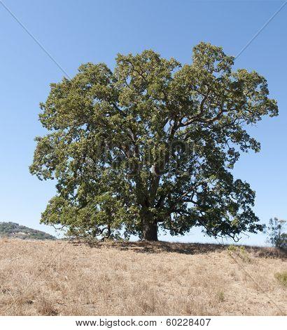 single live Oak tree in California