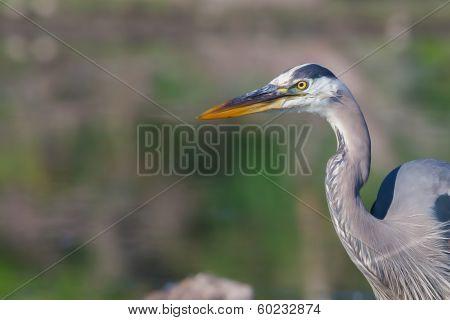 Great Blue Heron Fishing In Soft Focus