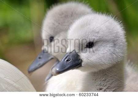 Young Mute Swan Chicks