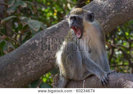Ferocious Green Vervet Monkey