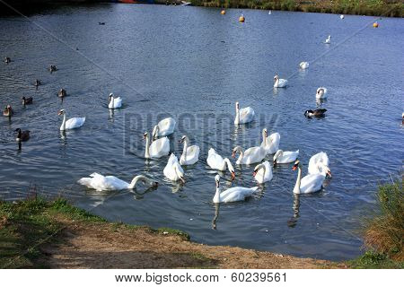 Swans Drinking