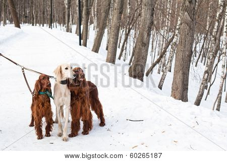Three Dogs Standing