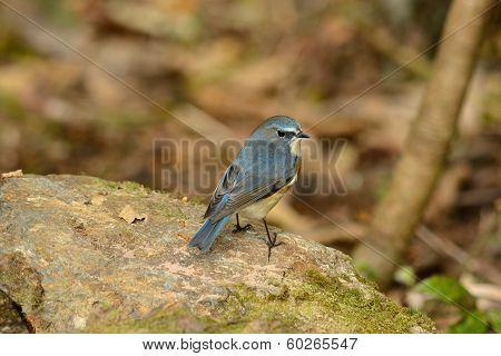 Male Red-flanked Bluetail (tarsiger Cyanurus)