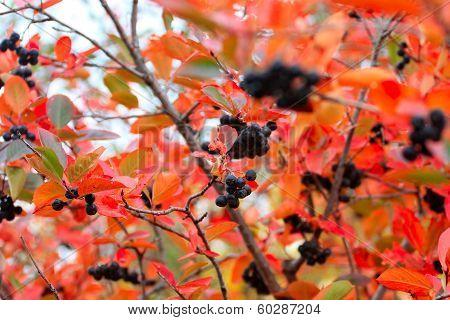 rowanberry