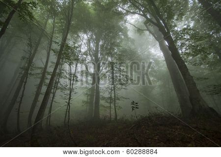 Dense fog in the beechen wood