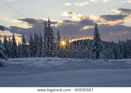 Sunrise among pinetrees