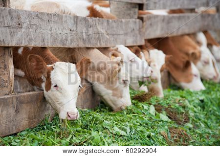 Farm Calves Eat Green Grass