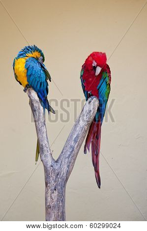 Two Brightly Coloured Amazon Parrots
