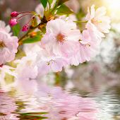picture of reflection  - Cherry blossoms closeup with water underneath showing their reflection - JPG