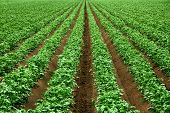 stock photo of fertilizer  - Field with rows of vibrant green crop plants on dark fertile soil - JPG