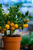 image of tangerine-tree  - decorative tangerine trees for sale - JPG
