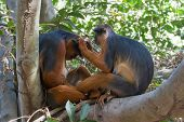 Female Western Red Colobus Monkey Grooming Her Mate