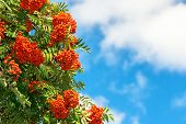 image of rowan berry  - Bright Rowan Berries on a tree with blue cloudy sky in background - JPG