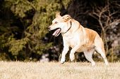 stock photo of mutts  - Running Mutt of Labrador and German Shepherd on dry grass - JPG