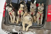 picture of sled dog  - Sled dogs in a car before the racing - JPG