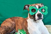 foto of american staffordshire terrier  - An American Staffordshire Terrier wearing funny glasses on St - JPG