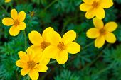 picture of cosmos flowers  - Cosmos Flower Blossom  - JPG