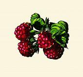 stock photo of testis  - Vector illustration drawing of organic juicy raspberries - JPG