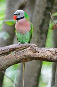 image of parakeet  - Beautiful Parakeet bird Red - JPG
