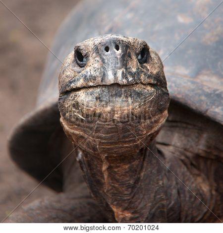 Galapagos Tortoise, portrait