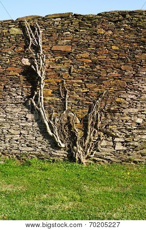 Plant Clinging To Stone Wall