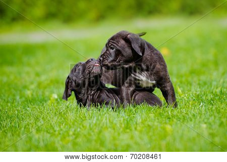 cane corso puppy outdoors