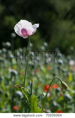 Detail Of White-violet Poppy (papaver Somniferum)