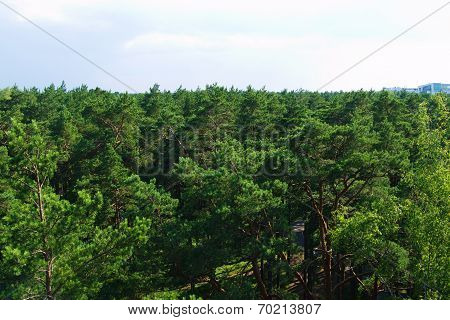 fir tree forest in morning time