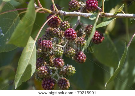 berries on a bush near the river alberche in Spain