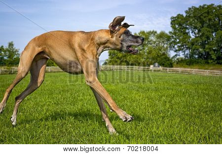 Great Dane loping across field