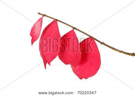 Red Leaves Of A Burning Bush Isolated On White