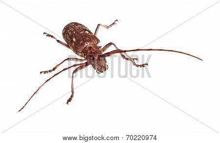 The Carolina Pine Sawyer Longhorned Beetle, Monochamus Carolinensis, On White