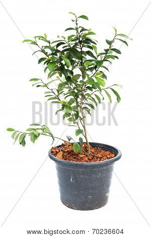 Small Banyan Tree Plant
